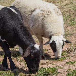 Artemisia-Sheep-1