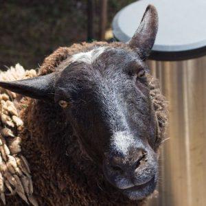 Dolly-Mama-Sheep-Saleh-Carefarm-Sponsor-3