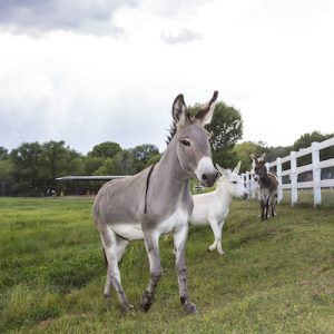 Fiona-Donkey-Selah-Carefarm-Sponsor-3