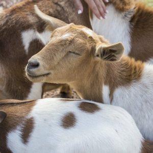 Greta-Goat-Sponsor-Saleh-Carefarm-2