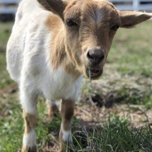 Greta-Goat-Sponsor-Saleh-Carefarm-4