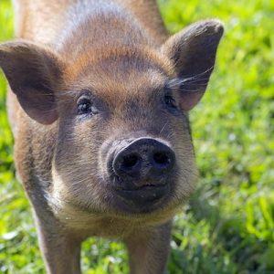 Mazy-Peaches-Pig-Selah-Carefarm-Sponsor-3