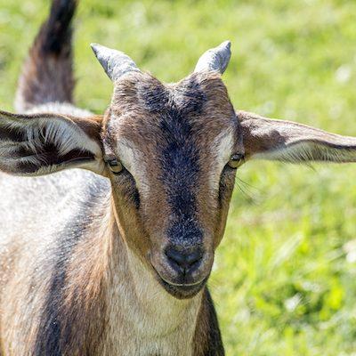Louisa-Pygmie-Goat-Sponsor-Saleh-Carefarm-1