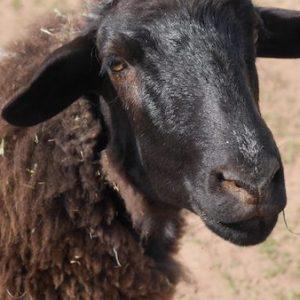 Jiggaram-Sheep-Saleh-Carefarm-Sponsor-3