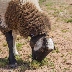 Jiggaram-Sheep-Saleh-Carefarm-Sponsor-4