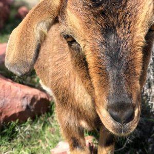 Liesl-Goat-Saleh-Carefarm-Sponsor-1