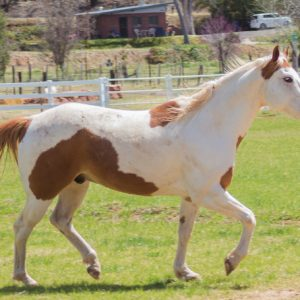 Scout-Horse-Saleh-Care-Farm-Sponsor-2