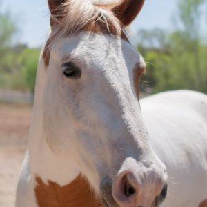 Scout-Horse-Saleh-Care-Farm-Sponsor-4