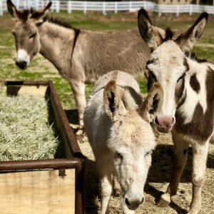 Stella-Virginia-Donkeys-Saleh-Carefarm-Sponsor-2