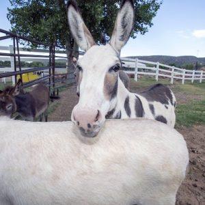 Stella-Virginia-Donkeys-Saleh-Carefarm-Sponsor-3