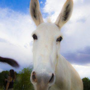 Stella-Virginia-Donkeys-Saleh-Carefarm-Sponsor-4