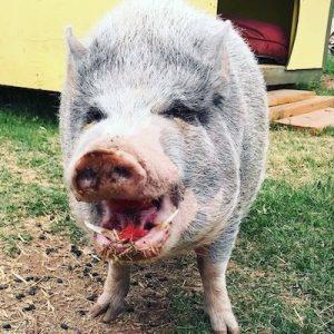 Wilbur-Pig-Saleh-Care-Farm-Sponsor-1