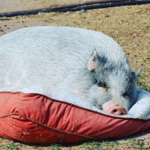 Wilbur-Pig-Saleh-Care-Farm-Sponsor-3