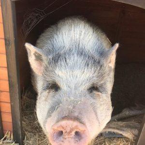 Wilbur-Pig-Saleh-Care-Farm-Sponsor-4