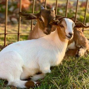 urt-Goat-Saleh-Carefarm-Sponsor-4